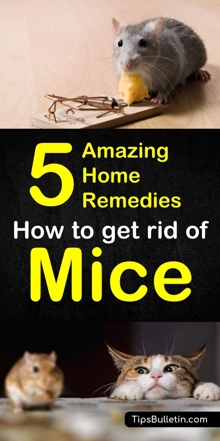 Natural remedies for mice. How to Get Rid of Mice - 5 Home