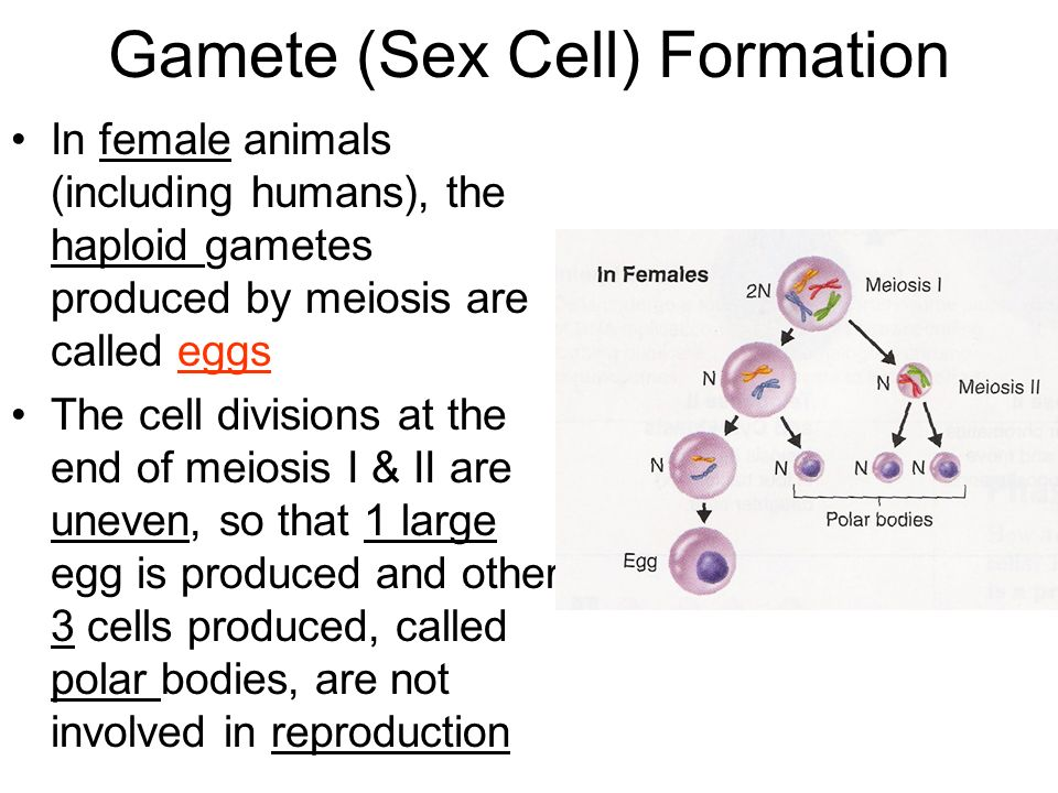 haploid cell sex chromosomes for a woman in Lismore