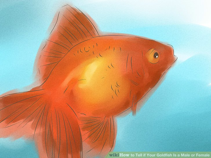 How to sex a goldfish