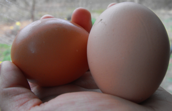 Determining sex of chickens by shape of eggs